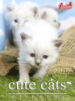 cute cats10 バーマン